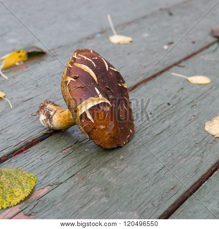 Boletus badius is an edible pored mushroom
