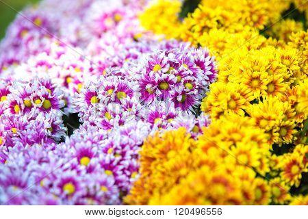 Gerbera flowers (Yellow and purple Gerbera flowers)