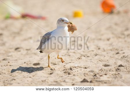 Gull Dragged A Piece Of Bread, And Runs On The Sand Beach