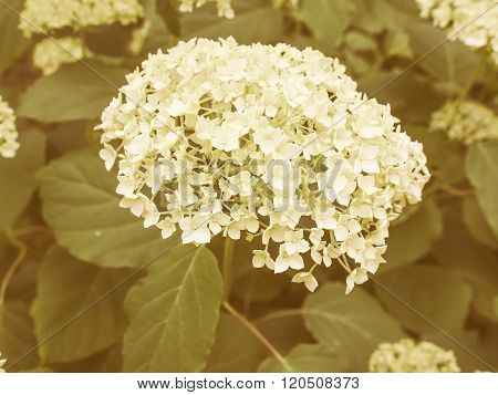 Retro Looking Hortensia Flower