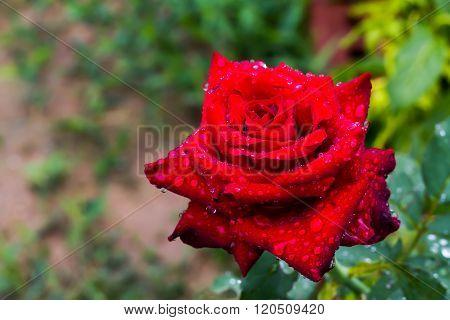 Multicolored roses