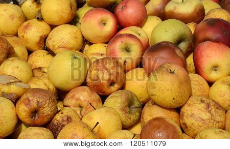 Organic pollution concept. Picture of a Rotten apples