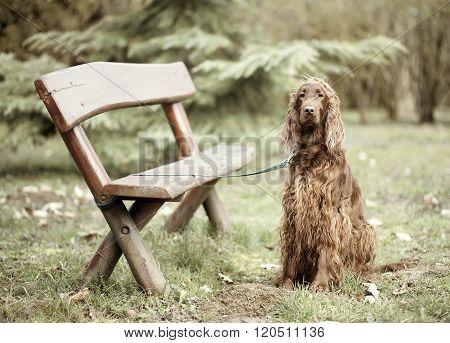 Dog Wainting Near A Bench