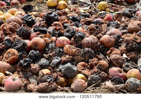Organic pollution concept. Picture of Rotten apples