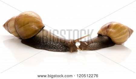 two snails isolated on white background, concept of kissing each other