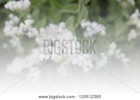 White Flower Of Mexican Coral Vine (soft Focus And Color Filter)