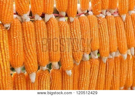 Corn Harvest In The Agriculture Farm