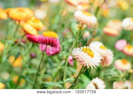 Helichrysum Or Straw Flower