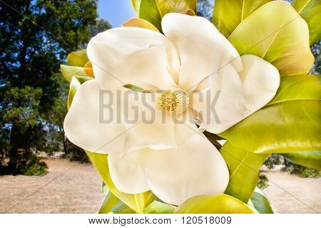 Creamy And White Color Flower Called Magnolia With Stigma
