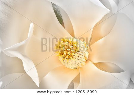 Magnolia Flower Stigma Surrounded From Creamy And White Petals