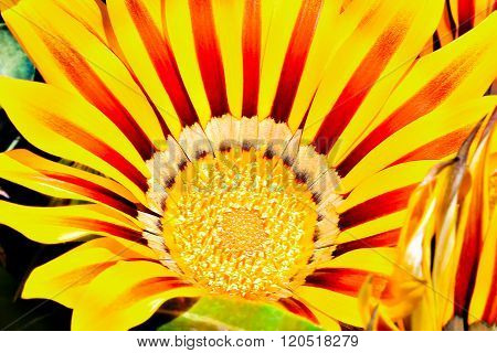 Close Up Macro Image Of A Sunflower