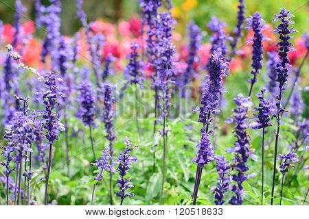 Purple Lavender Flower