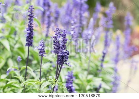 Blue Salvia (salvia Farinacea) Flowers