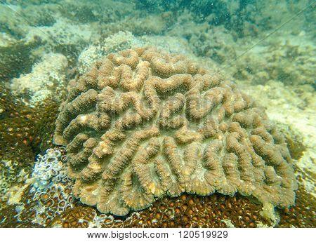 Massive coral, brain coral, symphyllia