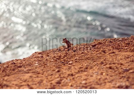 Moorish squirrel on Fuerteventura island