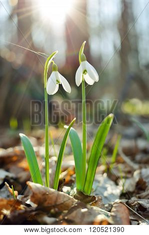 First Snowdrops Illuminated By Rays Of Spring Sun