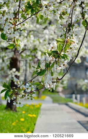 White Flowers On The Branches Of Trees In The Spring