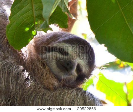 Tree Sloth And Baby