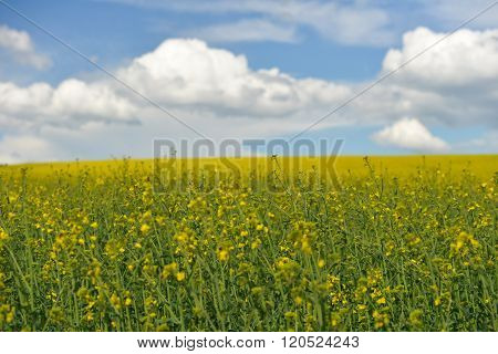 Rape Field And Blue Sky With Clouds In Spring