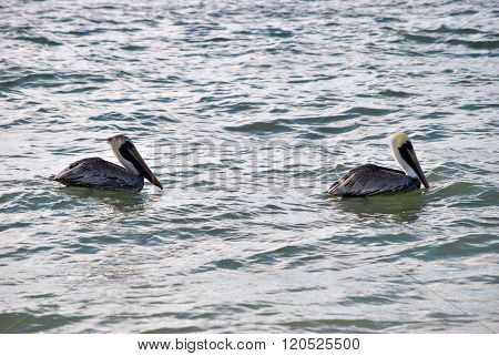 A pair of endangered Brown Pelicans Latin name Pelecanus occidentalis