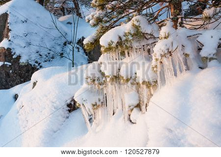 Beautiful icicle ice formation on small tree