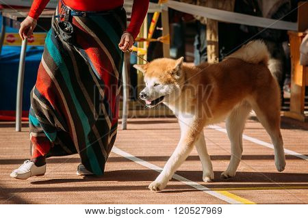 Young White And Red Akita Dog - Akita Inu, Japanese Akita