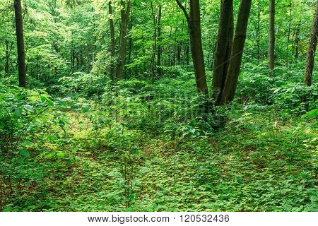 Summer Green Deciduous Forest Trees