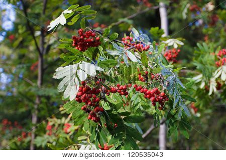 Red Rowan berries on a branch.