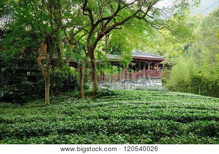 Tea Fields in Hangzhou