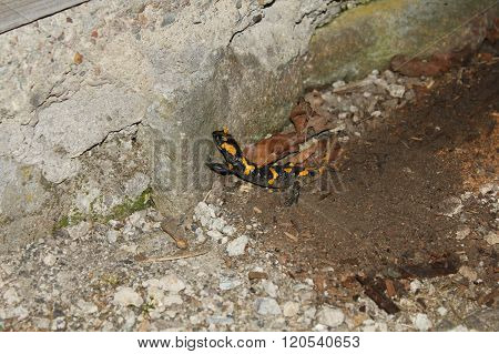 Salamander (salamandra) In The Wild.