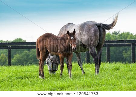 Mare with her colt on pastures of horse farms. Country summer landscape.