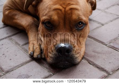 Cute Dog Muzzle With Pieces Of Food On The Nose