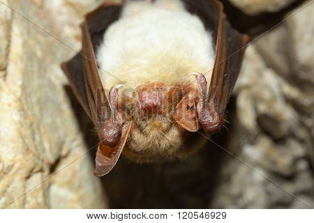 Lesser mouse-eared bat (Myotis myotis in cave