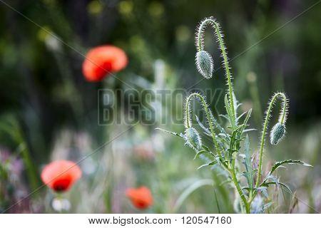 Wild red poppy buds