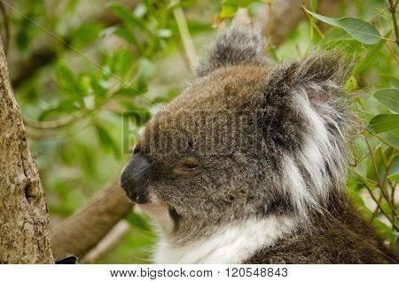 Australain Koala