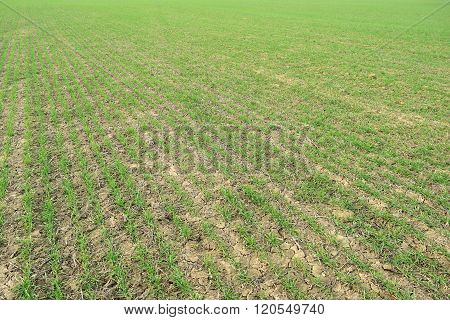 Spring Winter Wheat Field