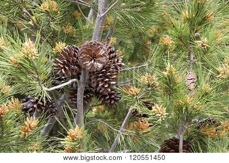 Blooming Pine Tree With Pine Cones