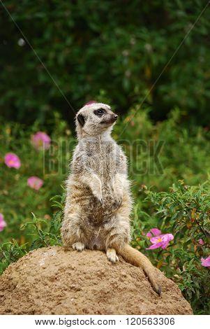 Meerkat Sitting On The Stone