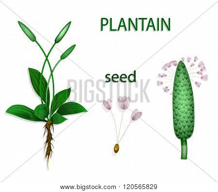 Illustration of plantain psyllium. Botanical picture. The text on the separate layer.