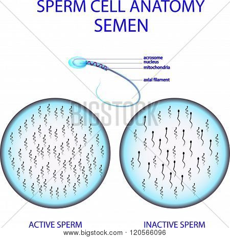 illustration of a sperm cell. and analyses of male seed