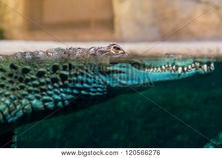 Crocodile Head Protruding Out Of The Water Close-up