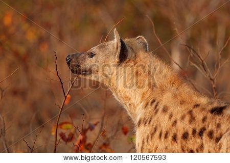 Portrait of a spotted hyena (Crocuta crocuta), Kruger National Park, South Africa