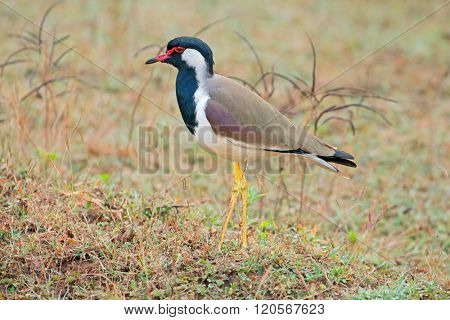 A red-wattled lapwing (Vanellus indicus), Kanha National Park, India