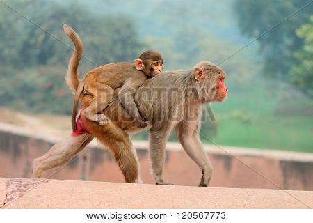 Rhesus macaque monkeys (Macaca mulatta) on the walls of the Agra Fort, India
