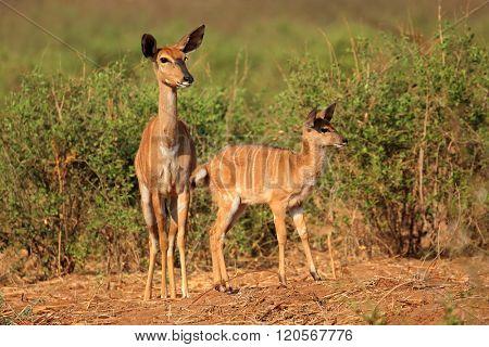 Nyala antelopes (Tragelaphus angasii) in natural habitat, Kruger National Park, South Africa