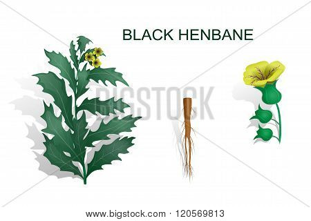 illustration of a henbane black with root and inflorescence