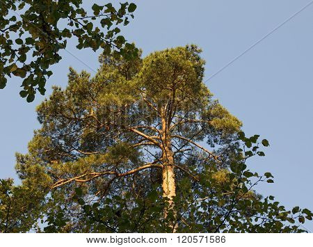 Crown of pine tree on blue sky background