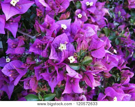 Oleander shrub, violet flowers with leaves.