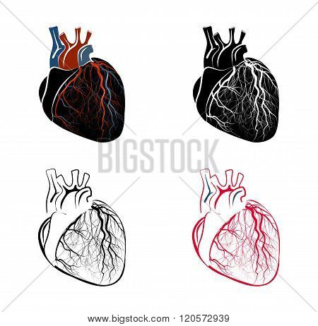 ILLUSTRATION of the human heart. cardiology. vector