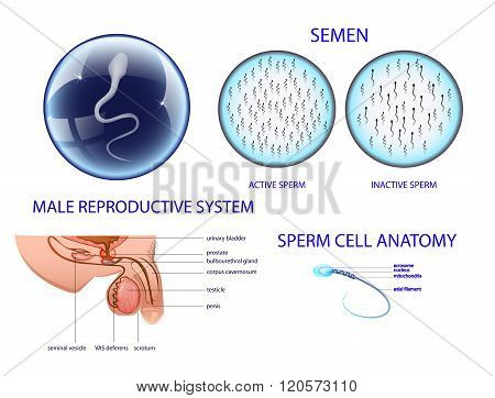 Anatomy of the male reproductive system. semen.